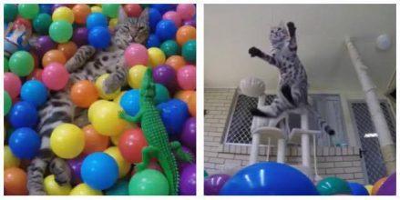 Kattens reaktion er hylende morsom – Derfor skal du lave en kasse fyldt med bolde til din kat!