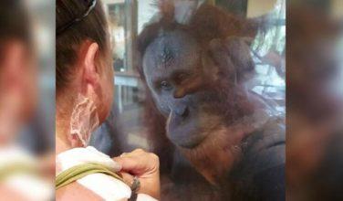 Orangutang opdager kvindens forbrændinger på halsen – episoden har rørt flere millioner mennesker verden over