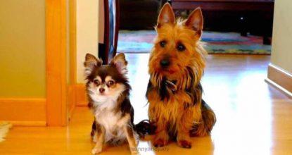 Ejeren spørger hvem der har skidt ude i køkkenet – Den ene hunds reaktion er helt genial!