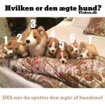 Hvilken er den ægte hund? – DEL når du spotter den ægte af hundene!