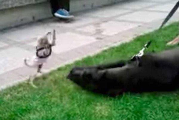 Lille Chihuahua møder stor Grand Danois - den lille hunds reaktion er nu blevet set af millioner!