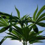 Cannabis til én patient koster 33.ooo kroner: Selv direktørerne synes det er alt for dyrt