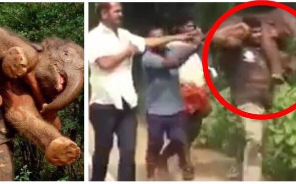 Elefantunge reddet af indisk folk - og blev båret tilbage til sin moder