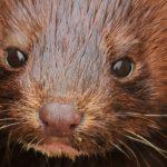 Nyt i norsk regering: forbyder nu pelsfarme