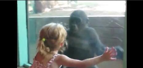 Lille pige kigger på ung gorilla gennem glasset - Gorillaens reaktion er hjertevarmende