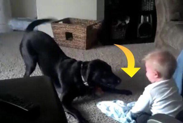 Familiens hund gør alt for at lege med baby - Drengens reaktion er hysterisk morsom!
