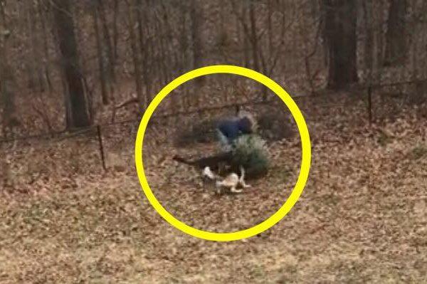 Schæferhundene nægter at lade mand smide juletræet ud - konen griner højlydt og filmer straks episoden