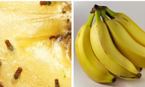 Ekspertens råd: sådan slipper du af med de irriterende bananfluer i hjemmet