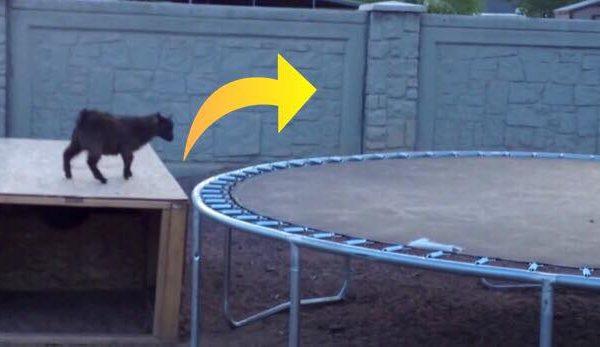 Gedekid opdager trampolin - et øjeblik senere får den alle til at skraldgrine