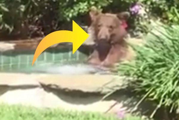 Brun bjørn udforsker ægtepars boblebad og får sig en lækker drink
