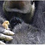 """Dyrepasserne overraskes over gorillaens nye lille ven – """"man tror ikke sine egne øjne"""""""