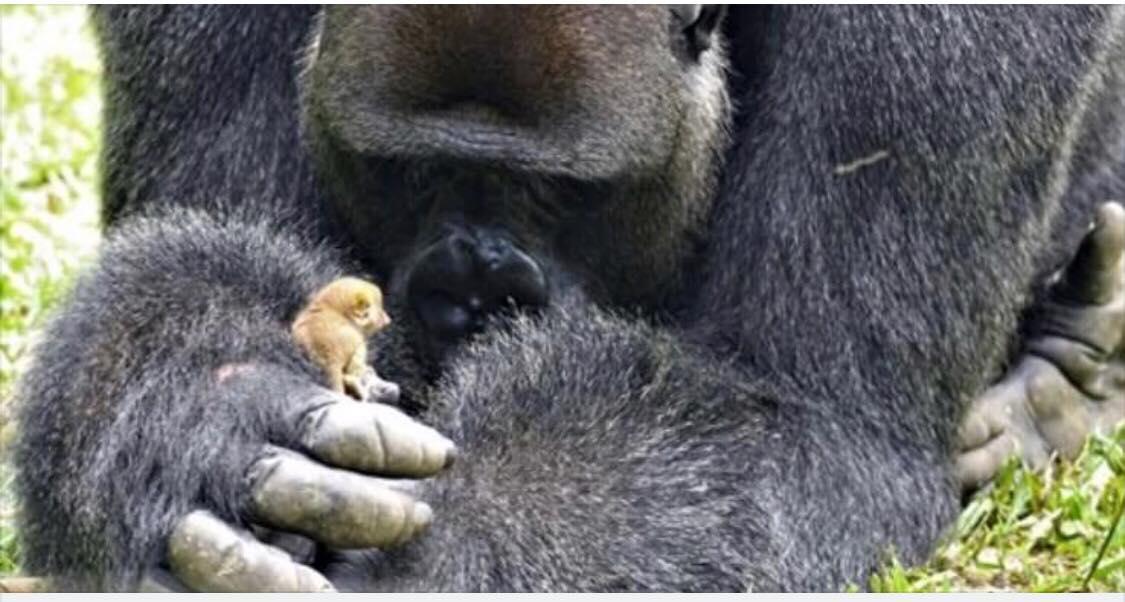 Dyrepasserne overraskes over gorillaens nye lille ven - ''man tror ikke sine egne øjne''