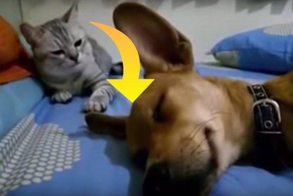 Hysterisk morsom video er gået viralt: Hund prutter i søvne - kattens reaktion får alle til at skraldgrine
