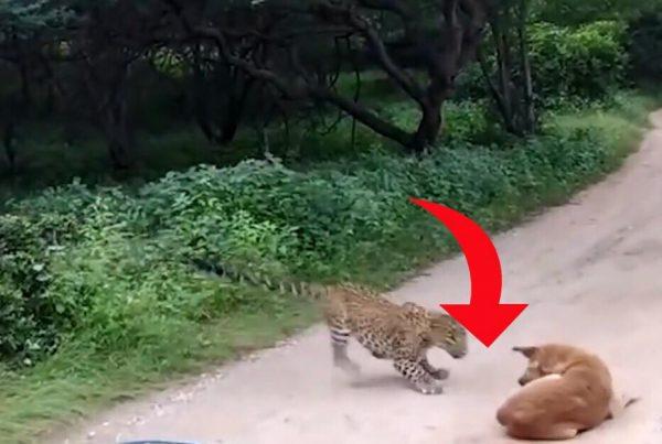 Leopard angriber hund mens den ligger og slapper af på vejen - så tager situationen en yderst uventet drejning!