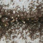 Ekspert slår fast: Læg dette krydderi omkring dit hjem, og du vil aldrig se en myre igen!