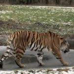 "Nysgerrig sibiriske tiger fik ""problemer"" på isen i Knuthenborg Safaripark"