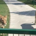 Hun genforenes med løveungerne som hun adopterede i et hjerteskærende møde!