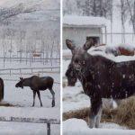 Sultne elge går ind i ukendt område for at spise – nu viser det sig at de er blevet bedste venner med hestene