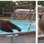 Bjørn elsker poolen – man forstår godt hvorfor dette er set af flere milioner mennesker!
