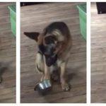 Denne schæferhund er en fantastisk tigger – dens reaktion er guld værd!