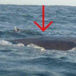 Dykker redder hvals liv – hvalens gestus har imponeret milioner