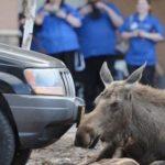 Elg ligger på parkeringsplads i 9 timer – pludseligt opdager folk hvorfor