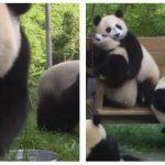 Er det her måske verdens sødeste og sjoveste pandaer? – se filmen her.