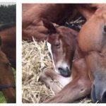 Hoppen er knust da hendes føl dør ved fødslen – Så fik dyrelægerne en ide der ændrede alting.