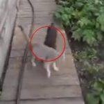 Kvinde beder sin lille hund om at hente deres kat hjem – hvordan det foregår er hylende morsomt!