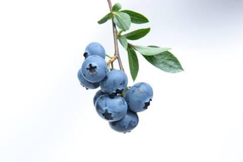 Ny forskning: Disse bær kan styrke ældre menneskers hjerne.