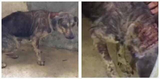 Vanrøgt hund tvangsfjernet fra dens ejer - se dens utrolige forvandling
