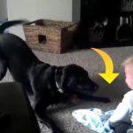 Familiens hund gør alt for at lege med baby – Drengens reaktion er hysterisk morsom!