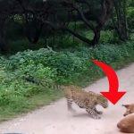 Leopard angriber hund mens den ligger og slapper af på vejen – så tager situationen en yderst uventet drejning!