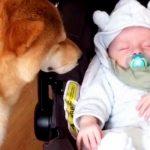 Familiens hund møder nyfødt baby for første gang – se nu hundens reaktion, når ejeren sætter ham ned!