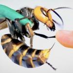 Utrolig video: Dyrenes konge bliver frivilligt stukket af verdens største hveps – nu deles videoen som en løbeild på nettet!