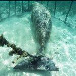 Dykkerne gør en uhyggelig opdagelse – Finder havdyr der er bundet til et stålbur.